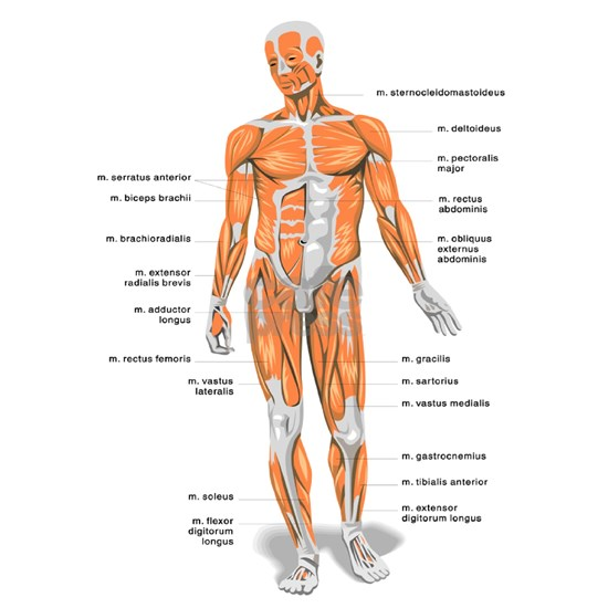 Muscles anatomy body