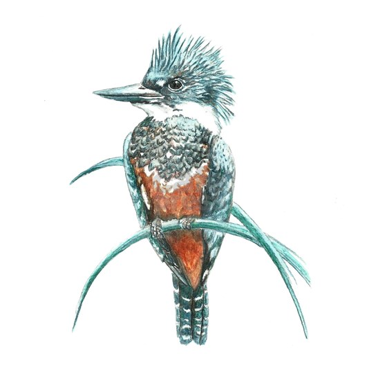 Watercolor Painting Kingfisher Bird