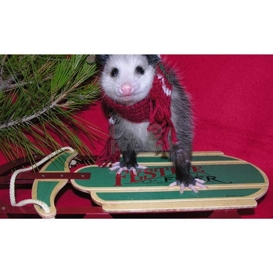 Possum on Christmas sled