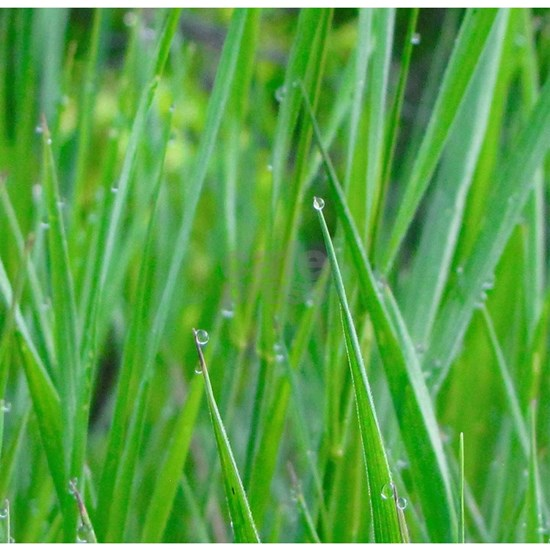 Grass Water Droplets