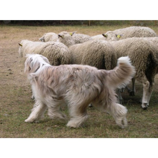 bearded collie working