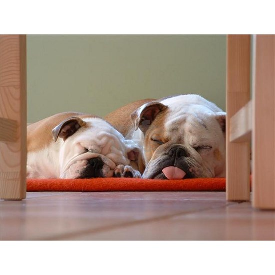 2 sleeping bulldogs
