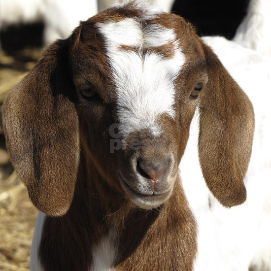 Cute kid goat
