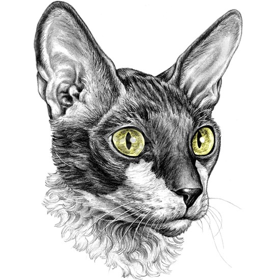 Cornish Rex Sketch