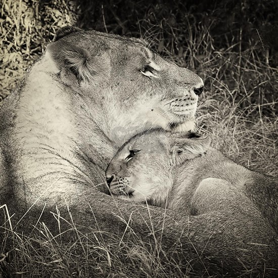 Tsalala Lioness and cub BW
