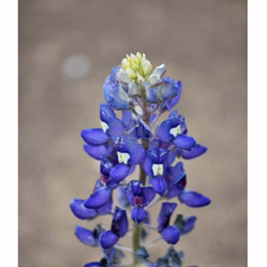 Bluebonnet