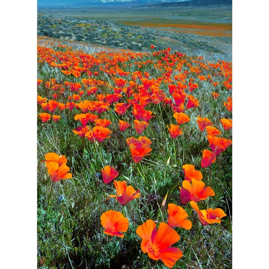 Californian Poppies (Eschscholzia)