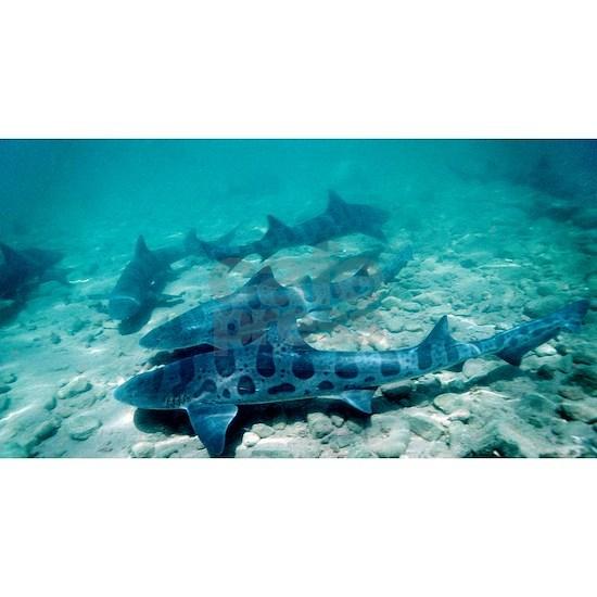 Female leopard sharks