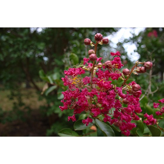 Crepe Myrtle (with Occupant)