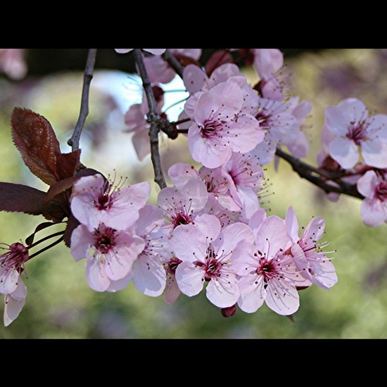 Cherry blossoms in spring time