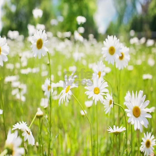 Filed of Daisies