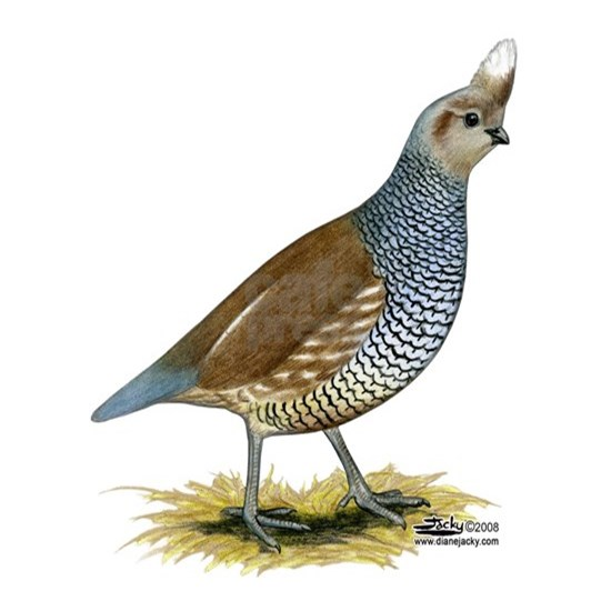 Texas Scaled Quail