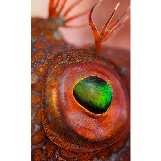 Ringneck blenny eye