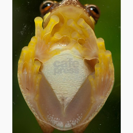 Hourglass treefrog on glass