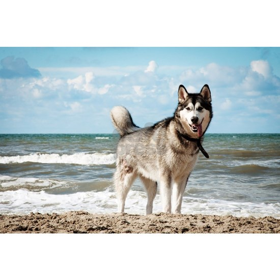 siberian-husky-dog-on-beach