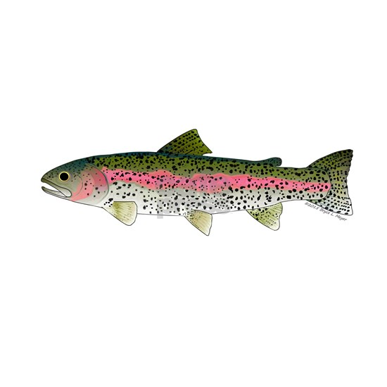 Rainbow Trout - Stream