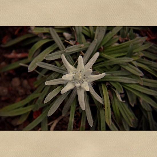 White Alpine Edelweiss Flower