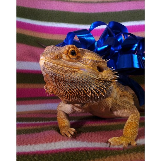 Beardie With a Bow