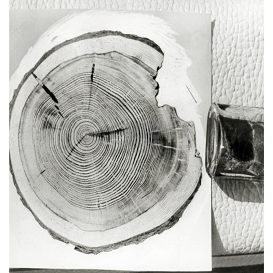 Growth rings on a tree from Tunguska