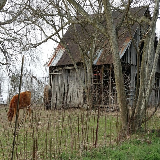 antique barn And Cows