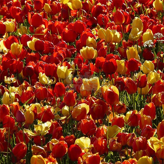 Tulip Field CS