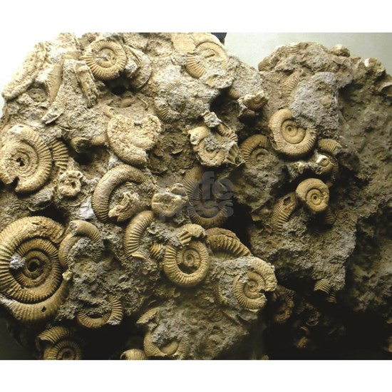 cluster of fossil shells