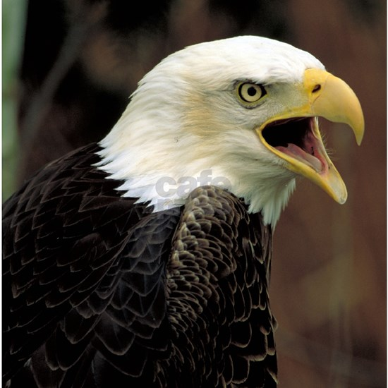 Voiceful Bald Eagle