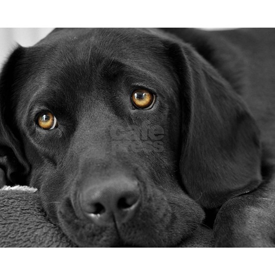 Beautiful Black Labrador
