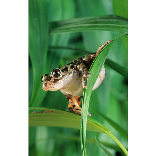 Red-legged pan frog