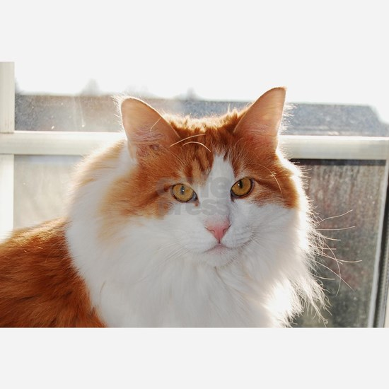 norwegian forest cat orange white