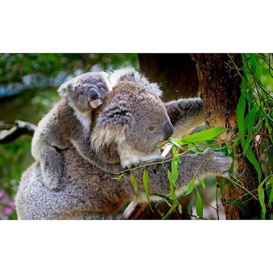 Baby Koala Bear with mom