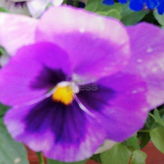 Shades of Purple Pansy