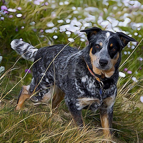 Field of Cattle Dog