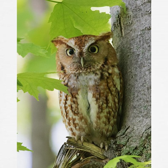 Red Sreech Owl