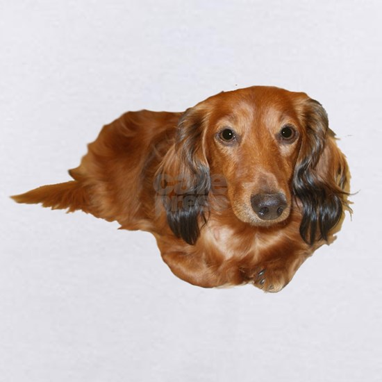 Red Long Hair Dachshund