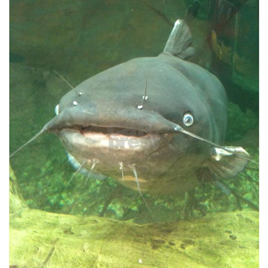 Curious Catfish