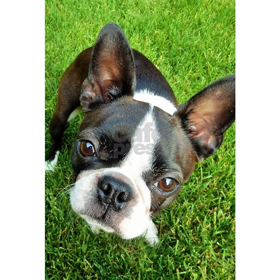 Boston Terrier Gaze