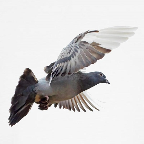 pigeon fly to love joy peace