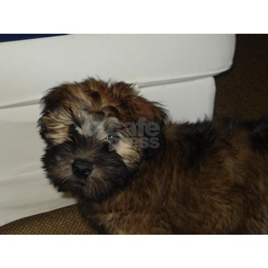 soft coated wheat terrier puppy
