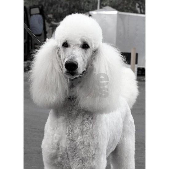 White Poodle Dog