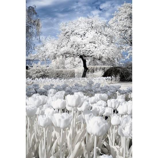 Tree in Tulip Field