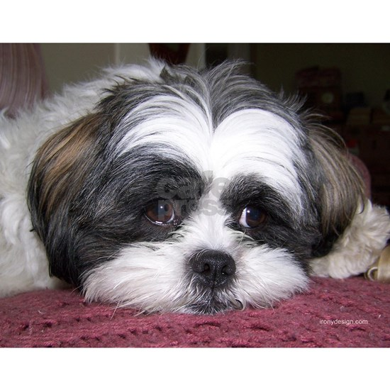 Shih Tzu Dog Photo Image