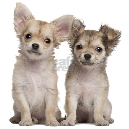 Chihuahua Siblings