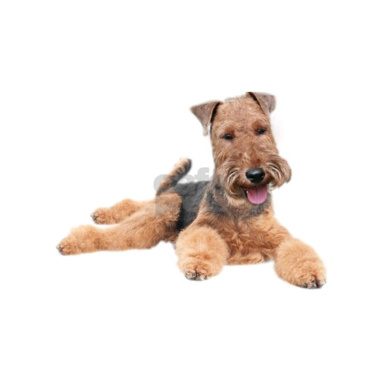 Welsh Terrier Portrait