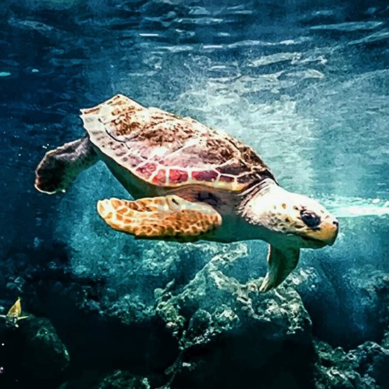 Tropical Sea Turtle Diving in the Blue Caribbean