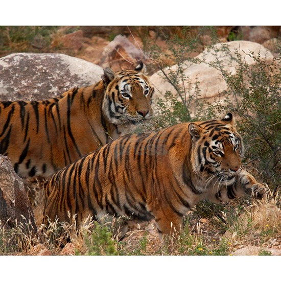 (4) Tigers Two Walking