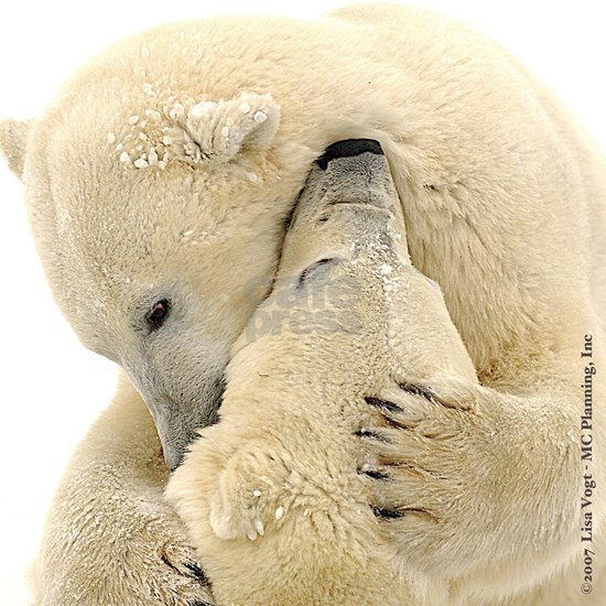 The Ultimate Polar Bear Hug