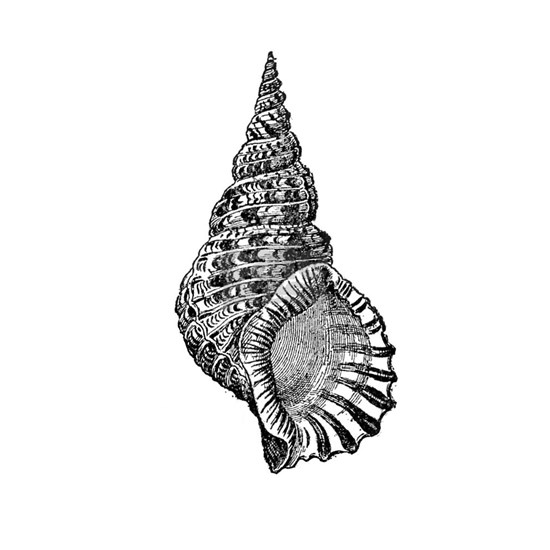Black and white Conch shell