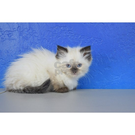 Anna - Seal Point Ragdoll Kitten