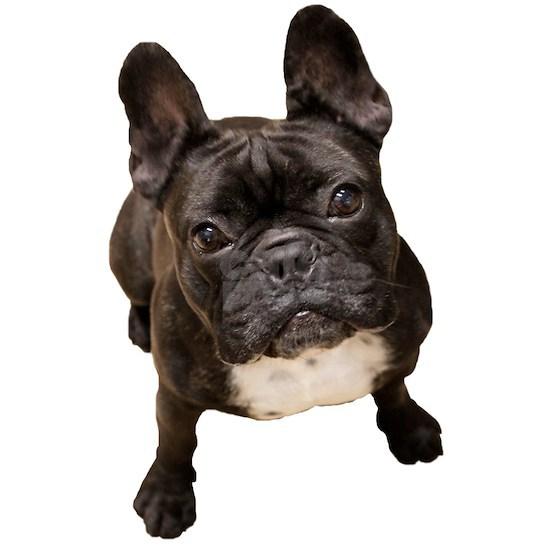 Classic French Bulldog